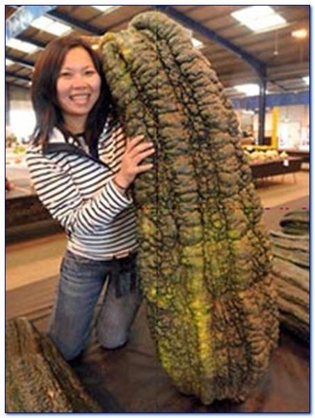 най-дълга краставица