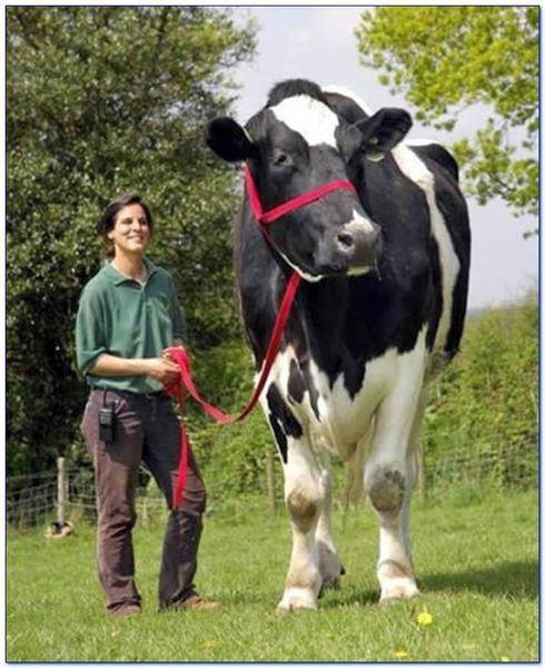 най-голямата крава