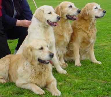 куче-golden-retriever